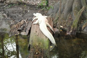 Fort Fisher's albino gator, Luna