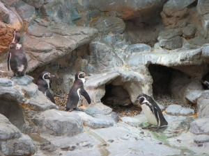 Penguins at Aquarium2